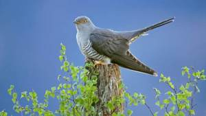 Cuckoo (Common Formerly European) Onekind